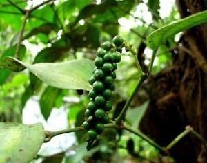 owoce piperyny