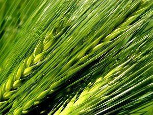 green barley plus uk